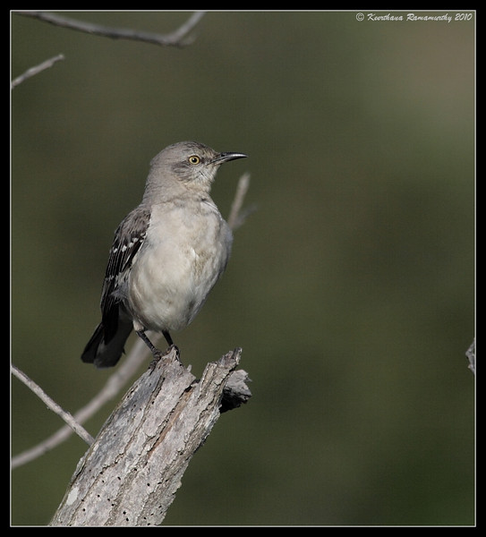 Northern Mockingbird, San Elijo Lagoon, San Diego County, California, March 2010