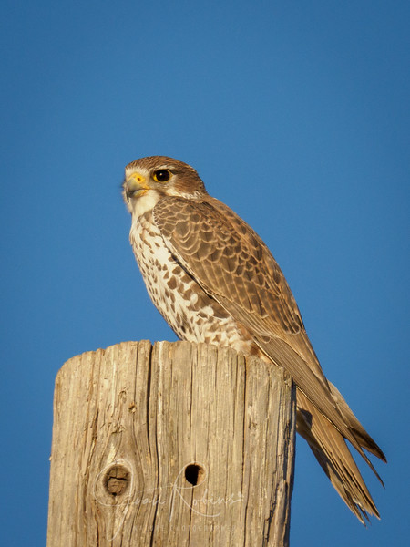 First Prairie Falcon of the season