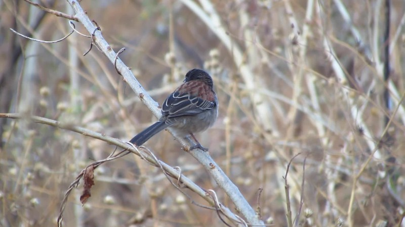 A video clip by guide Micah Riegner of the lovely endemic Black-chested Sparrow in Mexico. It's a species we'll see on our Central Mexico &  Baja: Birds, Butterflies & Whales itinerary.