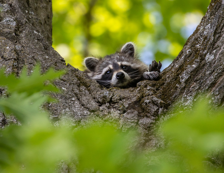 Raccoon 8x11-1.jpg