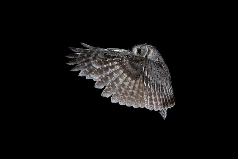 screech owl 66.JPG