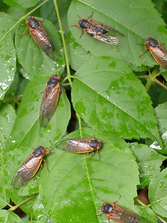 . Adult cicadas dry their wings on leaves May 16, 2004 in Reston, Virginia. After 17-years living below ground, billions of cicadas belonging to Brood X are beginning to emerge across much of the eastern United States. The cicadas shed their larval skin, spread their wings, and fly out to mate, making a tremendous noise in the process.  (Photo by Richard Ellis/Getty Images)