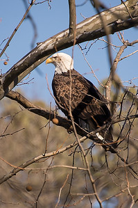 02 2014-01-29 Eagle at Lake Atalanta