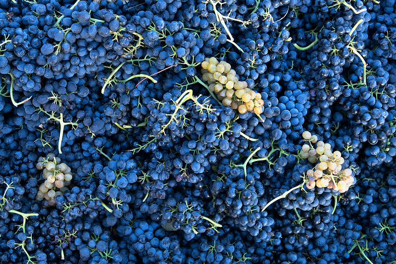 Syrah-Grape-Clusters_LJR1457.jpg
