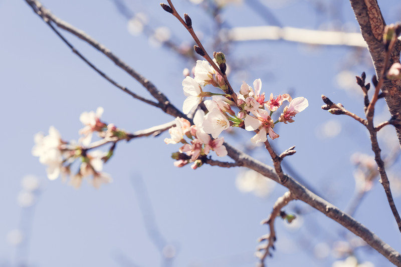 2017_04_02 Cherry Blossom-7136.jpg