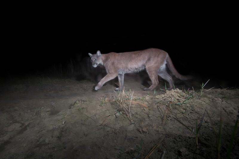 panther 3.jpg