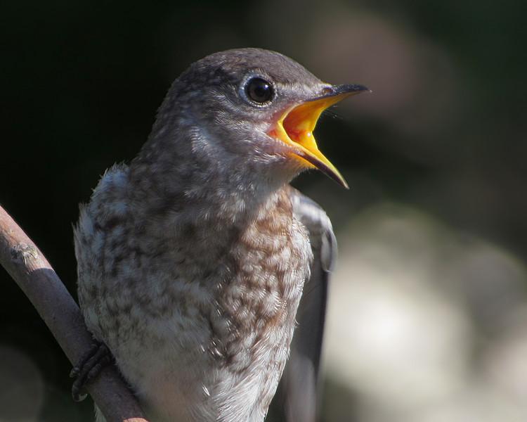 sx30_bluebird_fledgling_176.jpg