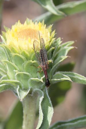 Snakeflies (Raphidioptera)