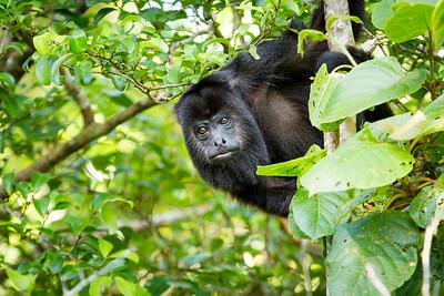 Black Howler Monkeys - Belize