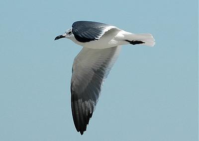 Gull - Laughing Gull