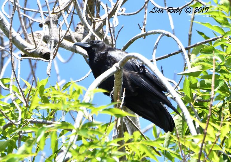 American Crow - 5/24/2019 - Famosa Slough