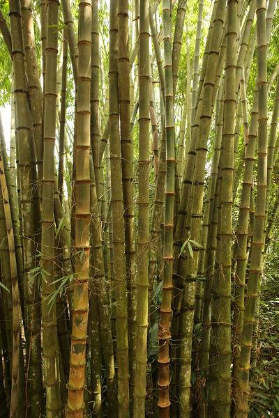Proflic bamboo growth..