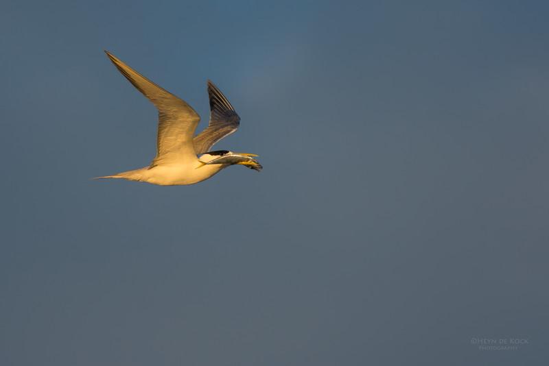 Crested Tern, Lady Elliot Island, QLD, Dec 2015-1.jpg