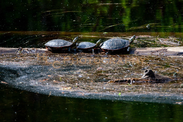 05/13/19 Painted Turtles in Cataldo, Idaho