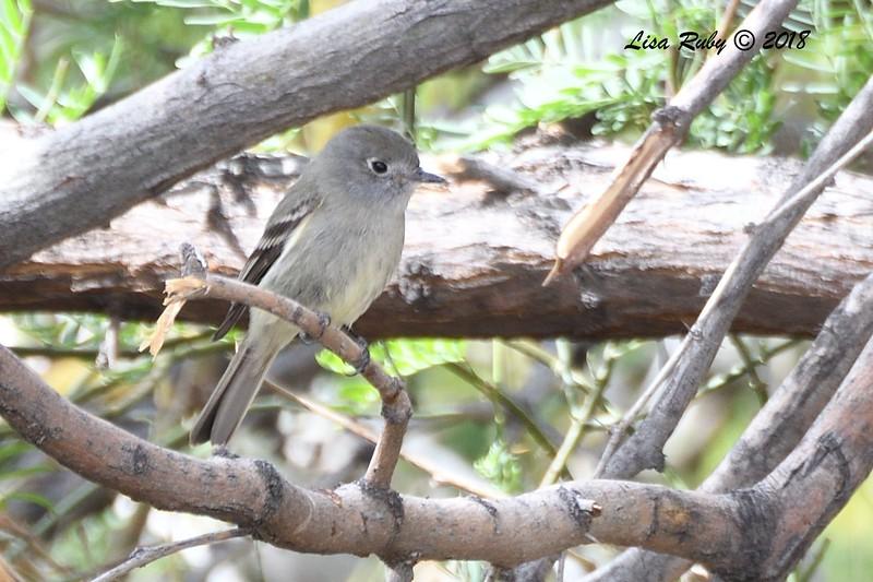 Hammond's Flycatcher - 4/16/2016 - Agua Caliente County Park Campground