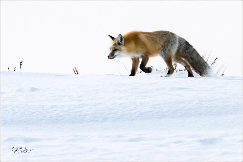 J85_2197 Fox crop LPr1W.jpg