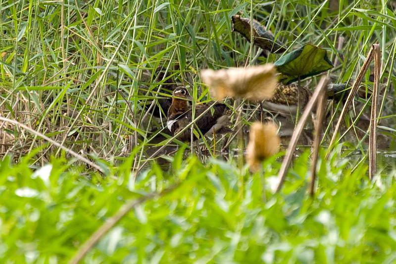 Greater Painted Snipe female (2) at Long Valley, Hong Kong, China (11-8-08).psd