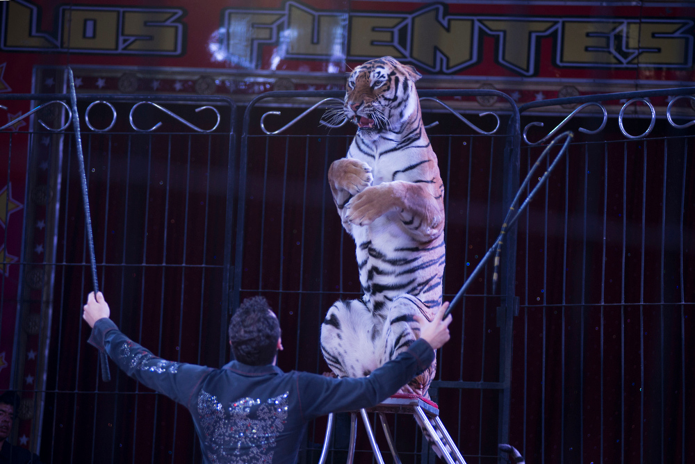 Description of . In this June 22, 2014 photo Alex Fuentes coaches Furia, a female Bengal Tiger, during a performance with the Fuentes Gasca Brothers Circus in Mexico City. The tigers are declawed when they are babies as to not harm the trainers, said Alex, who had suffered an injury a few years ago when one of his tigers bit into his thigh leaving gaping hole. It took him two months to recover. (AP Photo/Sean Havey)