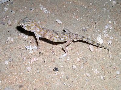 Slevin's Sand Gecko