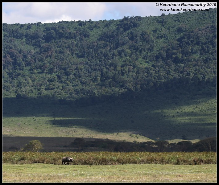 African Cape Buffalo scape, Ngorongoro Crater, Ngorongoro Conservation Area, Tanzania, November 2019