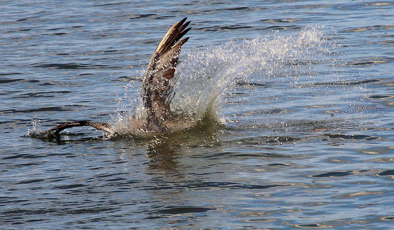 A Pelican dives for fish.