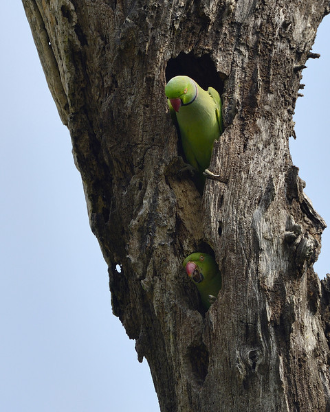 Our-home-rose-ringed-parakeets.jpg