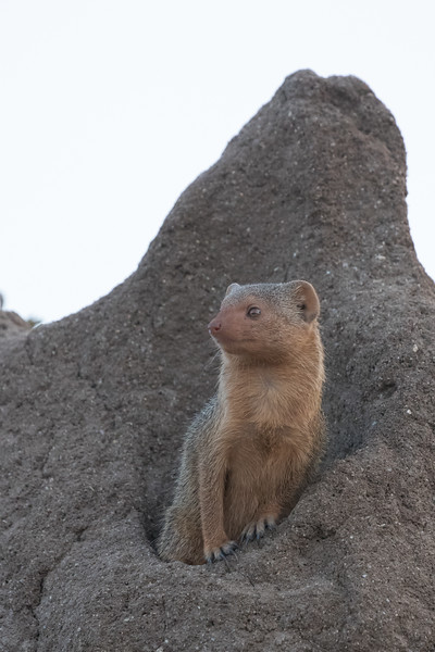A Mongoose has made a termite mound it's home