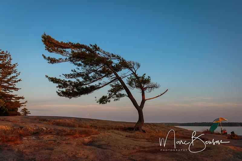 Iconic Pine