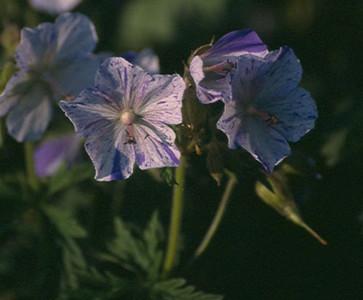 Geranium pratense 'Striatum'.jpg