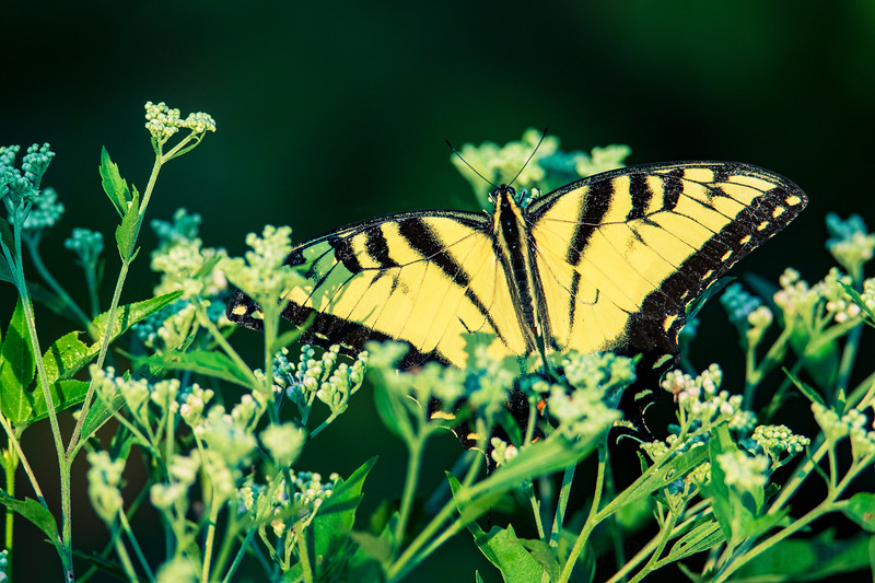 8.23.20 - Beaver Lake Nursery -  Eastern Tiger Swallowtail