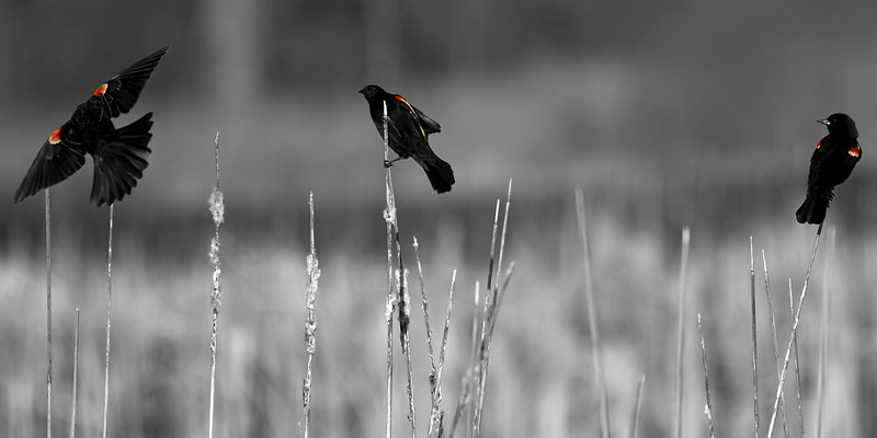 Three red-winged blackbirds