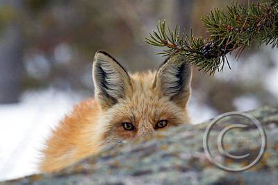Red Fox Images and Videos