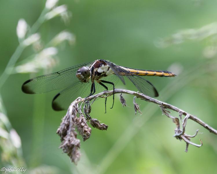 6-10-16.  Female Slaty Skimmer.