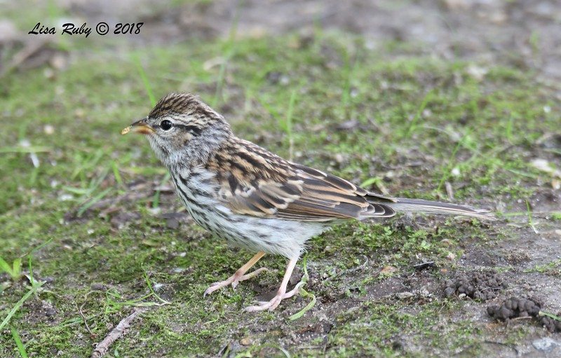 Juvenile Chipping Sparrow - 6/25/2018 - Decorah, Iowa, Palisades Inn