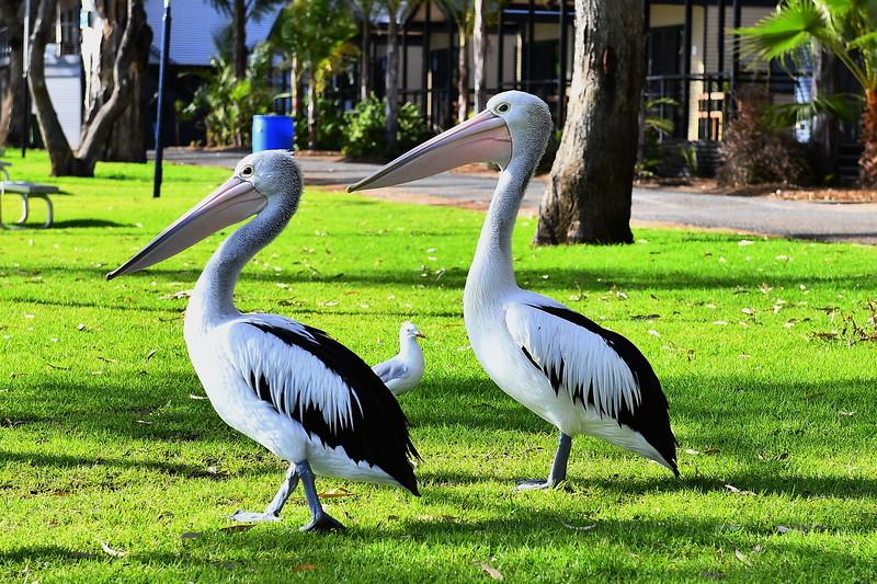 Park pelicans