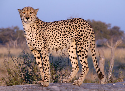 Botswana Safari 2006