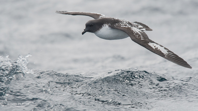 Cape Petrel, Eaglehawk Neck Pelagic, TAS, Sept 2016-2.jpg