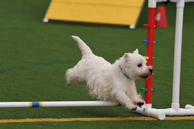 Montgomery All Terrier Agility Cluster October 1-4