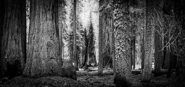 Sequoia-0395