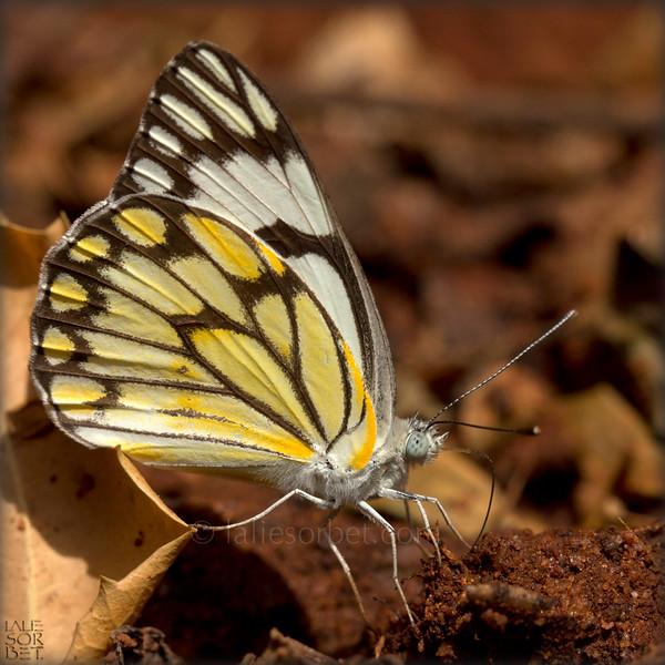 Pioneer Butterfly - Belenois Aurota.jpg
