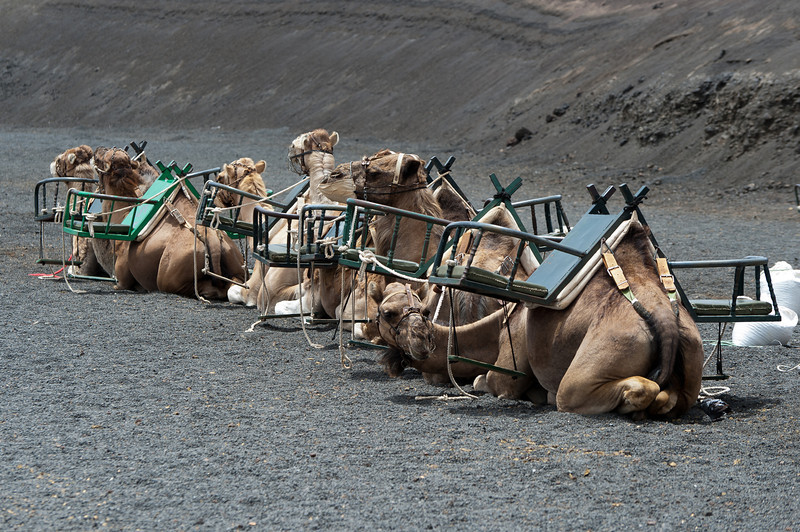 Camels waiting for tourists in Timanfaya National Park, Lanzarote, Spain