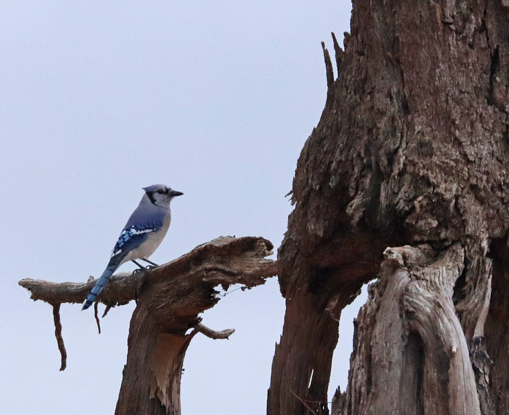 Bluejay on old wood