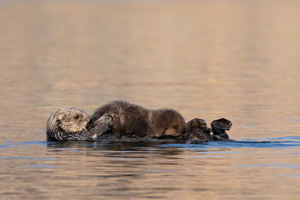 Sea Otters - Please click on a photo to enlarge the image.