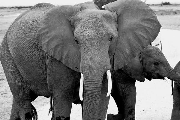 elephantfacebw.jpg