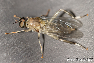 Grey Soldier Fly