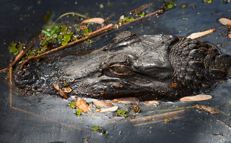 New Orleans Alligator