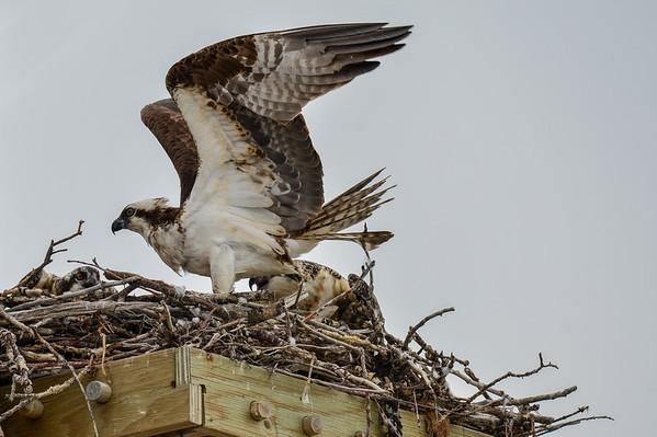 8 2013 Aug 15 Ospreys Feeding*