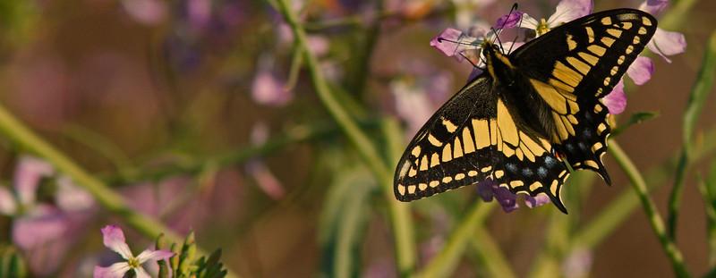 swallowtailpurplebokeh1600.jpg