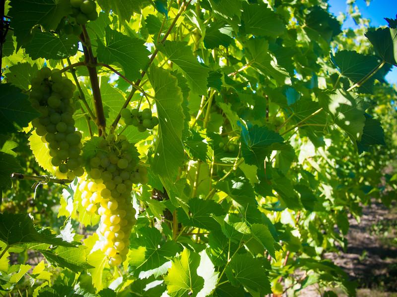 georgian hills grapes 2.jpg