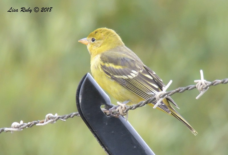 Western Tanager  - 9/24/2018 - FRNC, near committal shelter